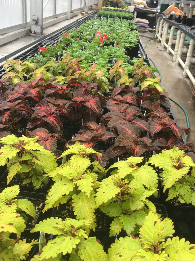 Coleus and petunias.